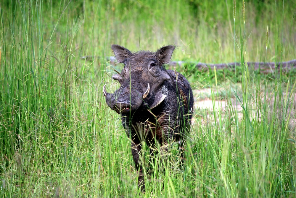 black wild boar on grass field