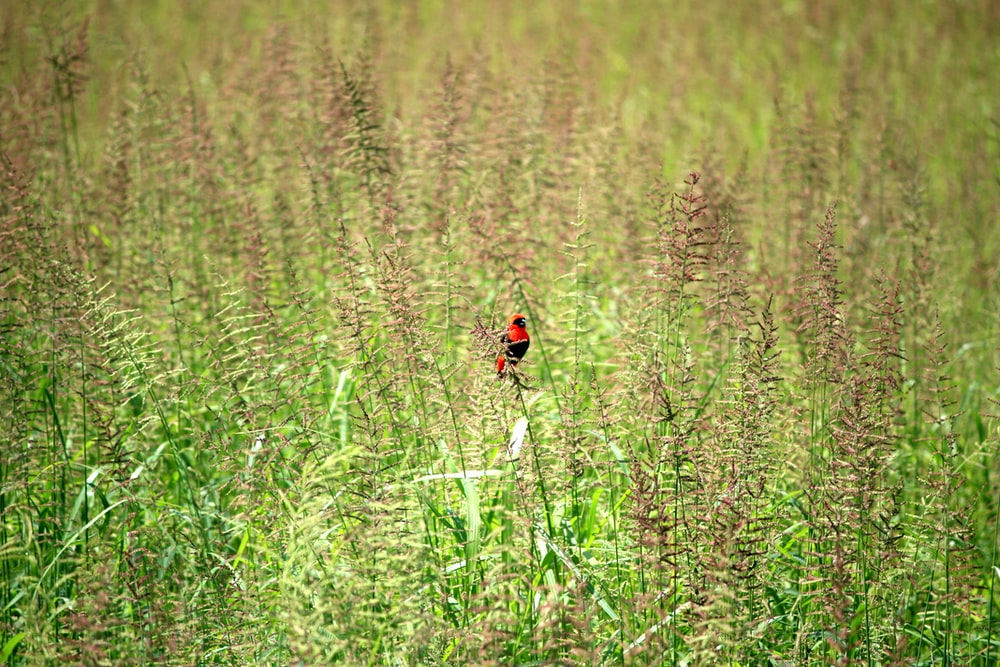 red and black bird surrounded with green plants during daytime