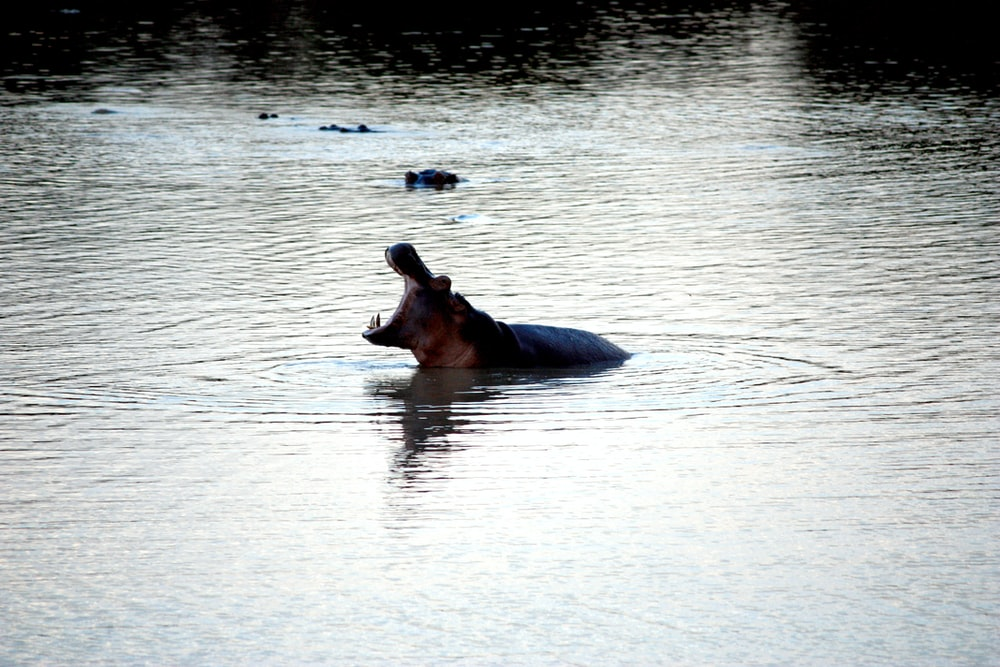 black hippopotamus on clear water at daytime