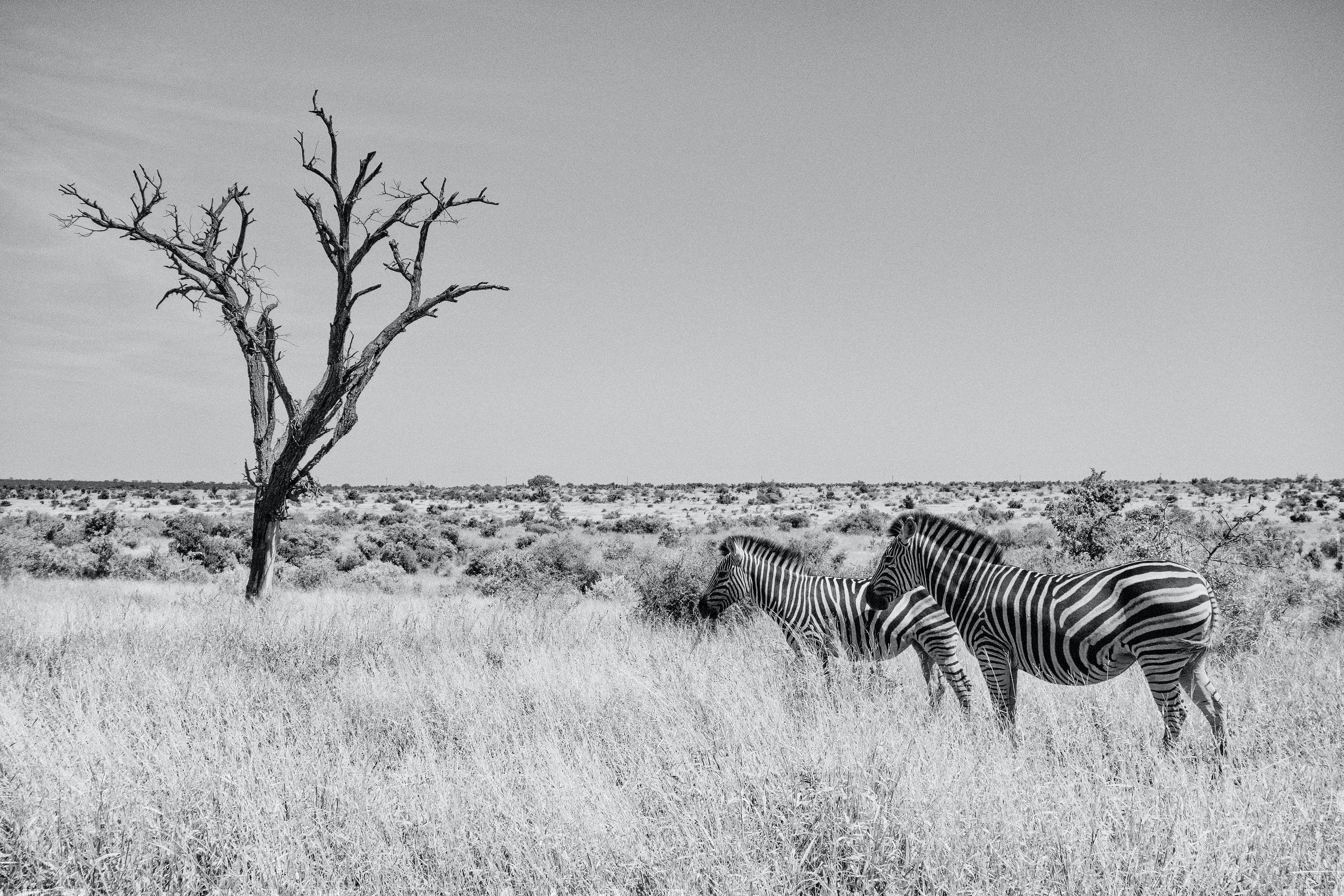 two zebras by the tree