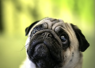 adult fawn pug close-up photo