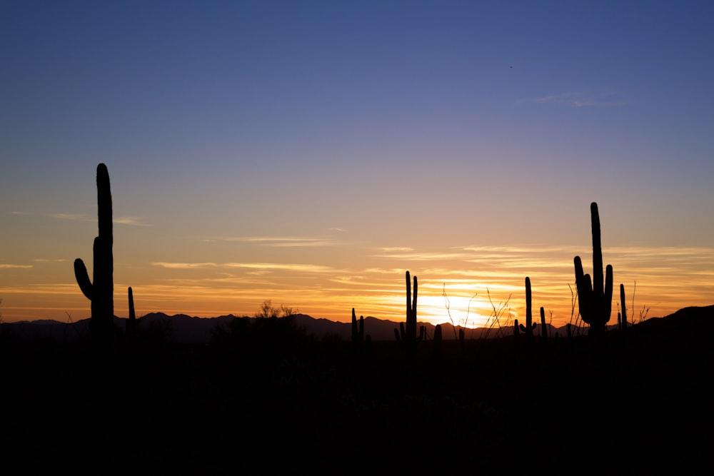 cacti during sunset