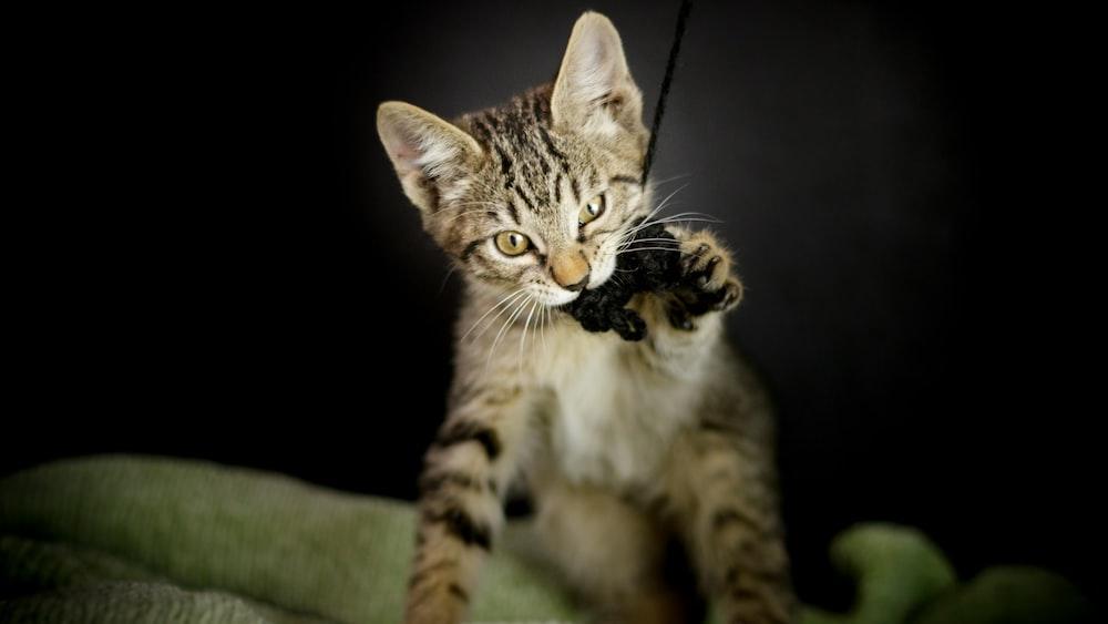 silver tabby cat biting yarn