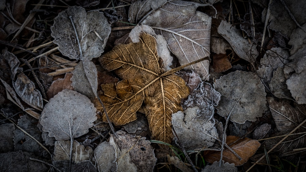 selective color photography of brown withered leaf