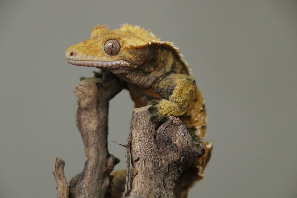 brown lizard on tree branch in close-up photography