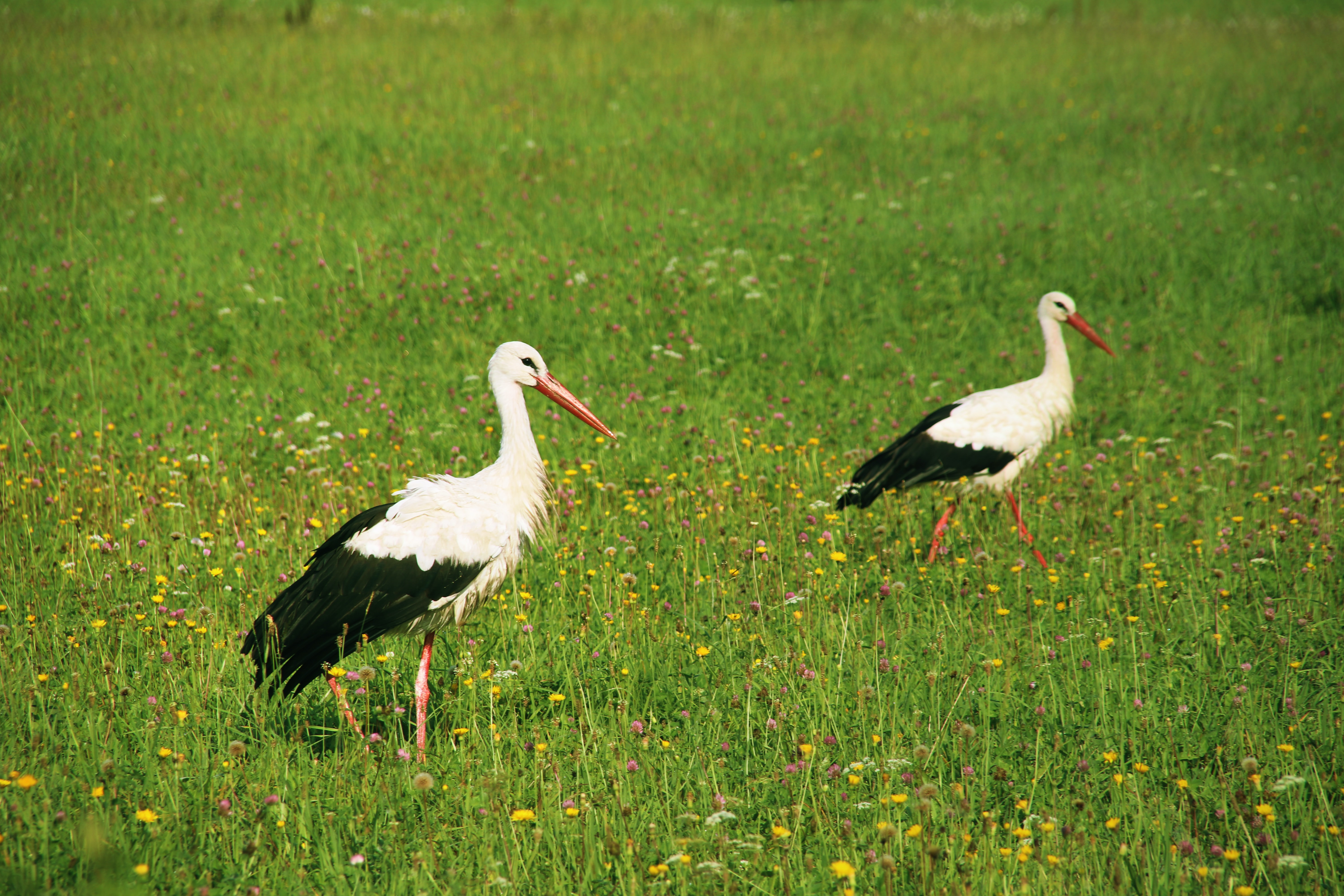 two white-and-black birds on green grass