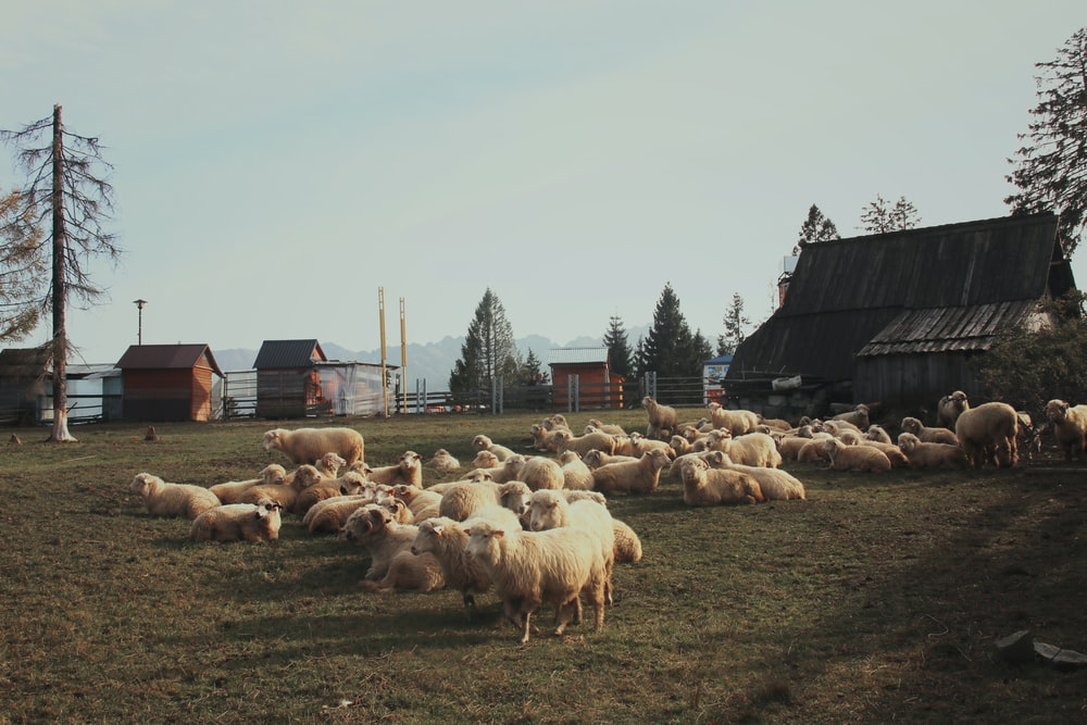 herd of white sheep during daytime