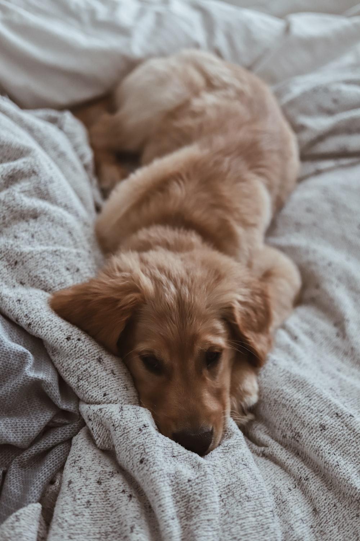 tan puppy on blanket
