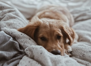 brown short-coated puppy lying on bed