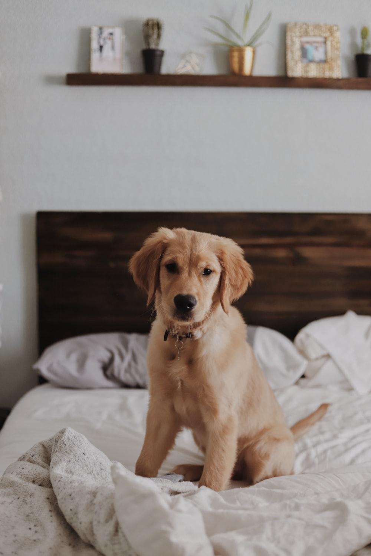 Labrador retriever on bed inside room