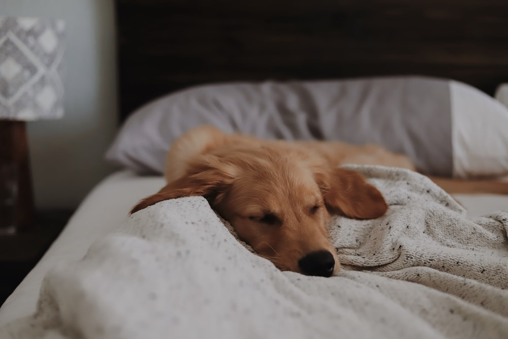 long-coated brown dog lying on bed