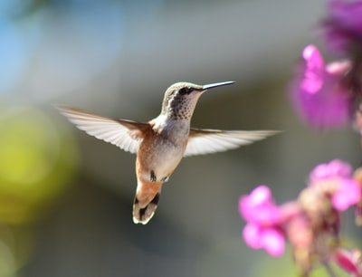 hummingbird in mid air bird teams background