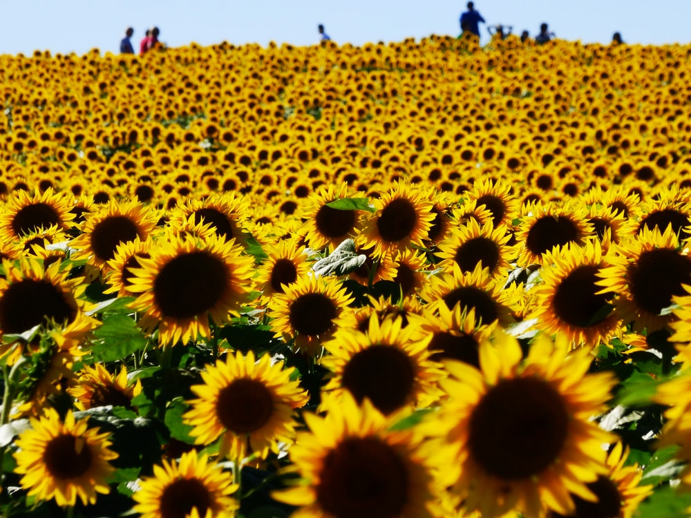 people standing near sunflower field