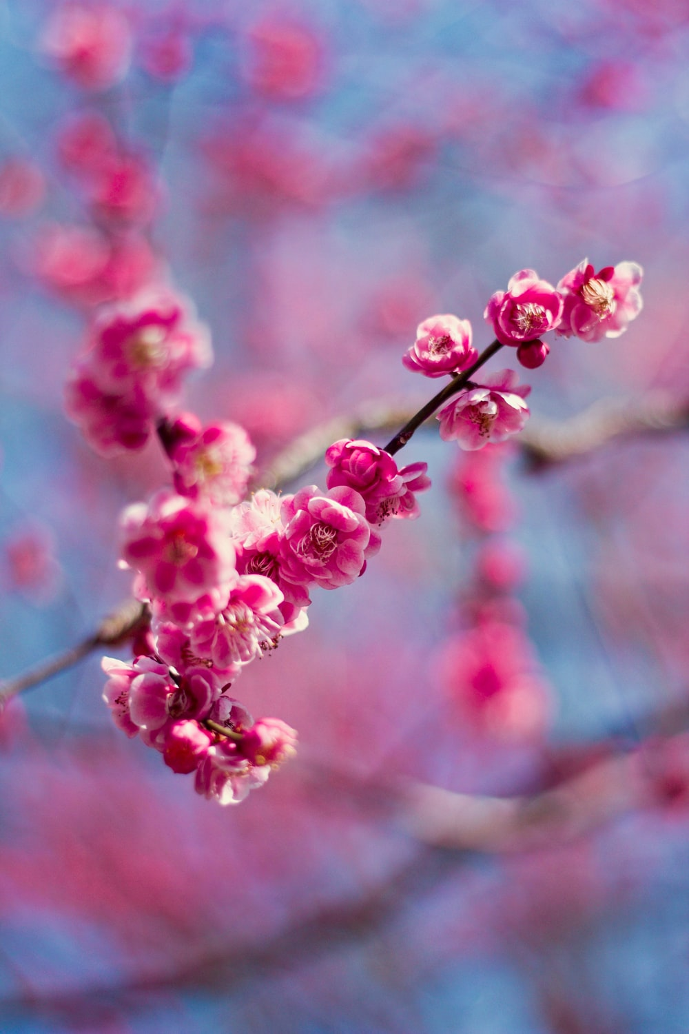 shallow focus photo of pink cherry blossom