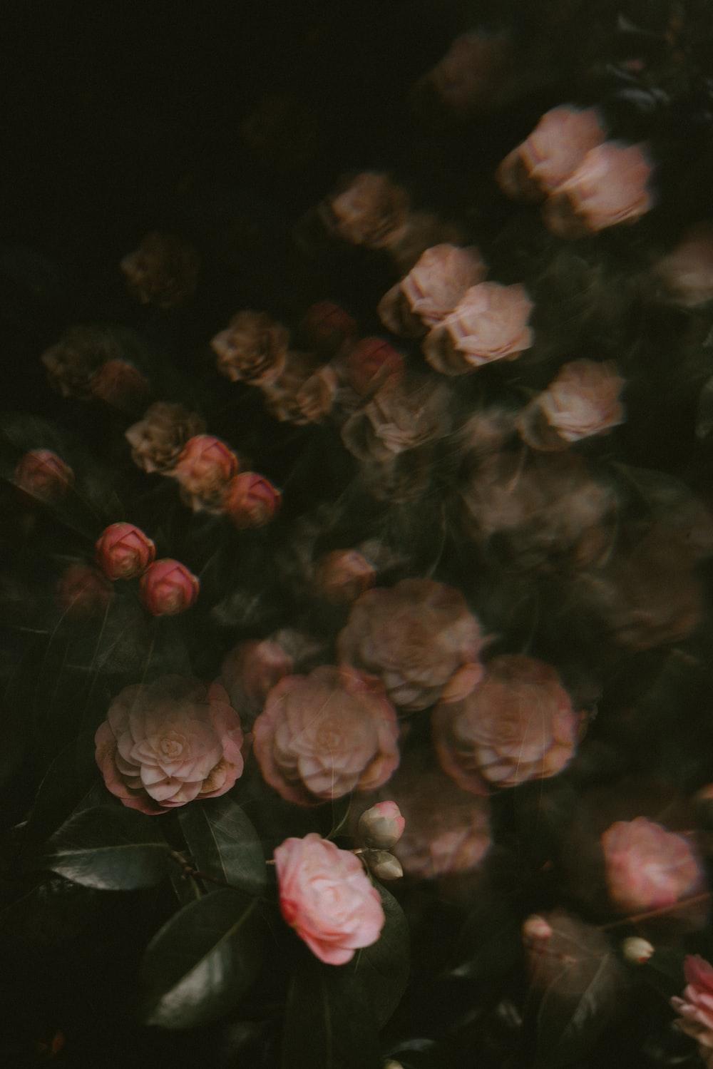 blooming pink rose flowers