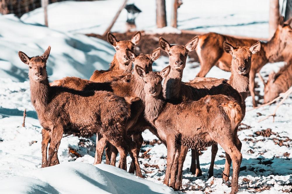 herd of brown animal