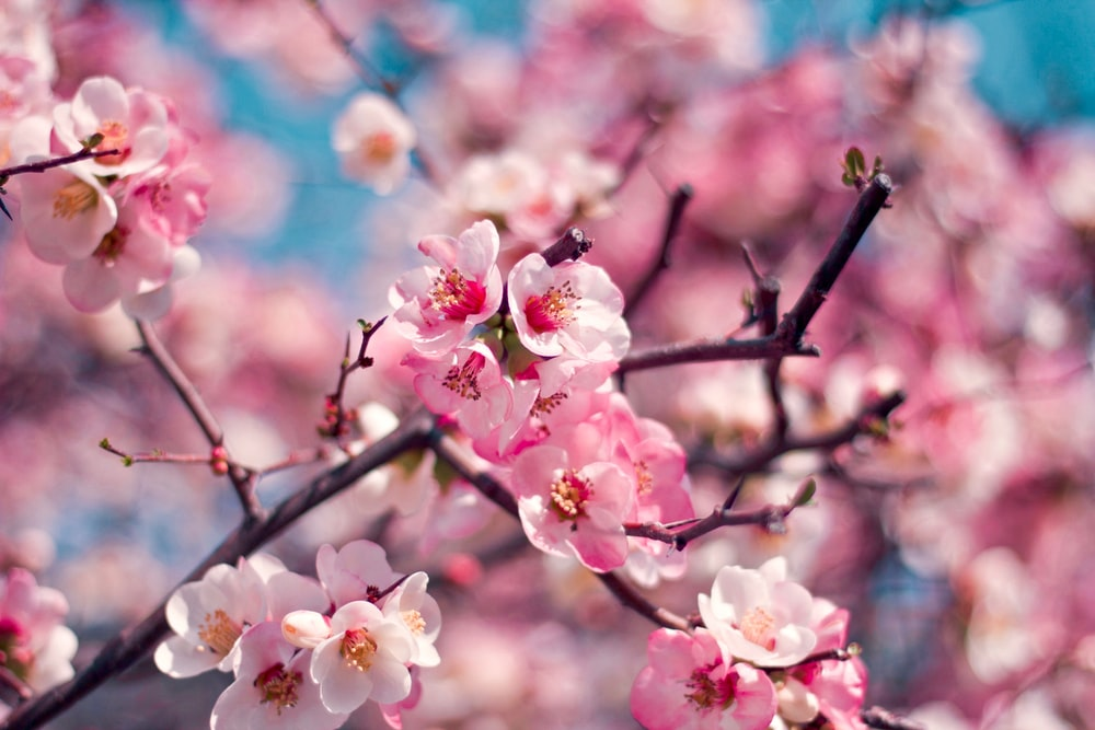 pink sakura flowers in selective focus photography