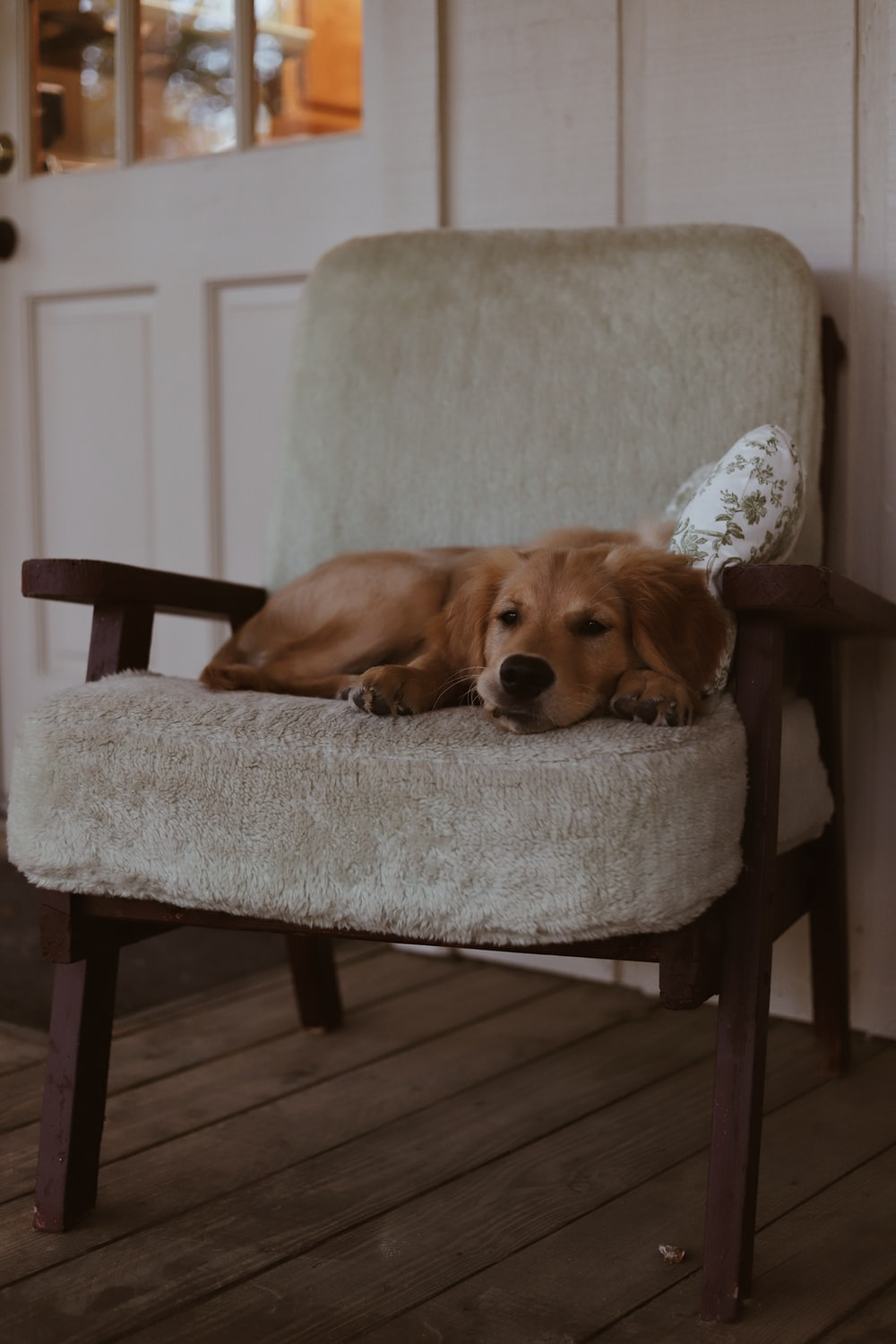short-coated brown dog lying on brown padded chair