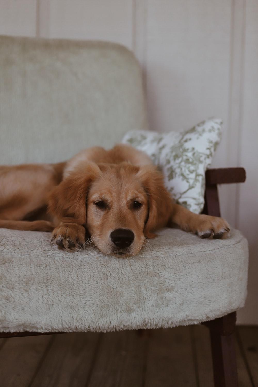 brown dog on grey fabric armchair