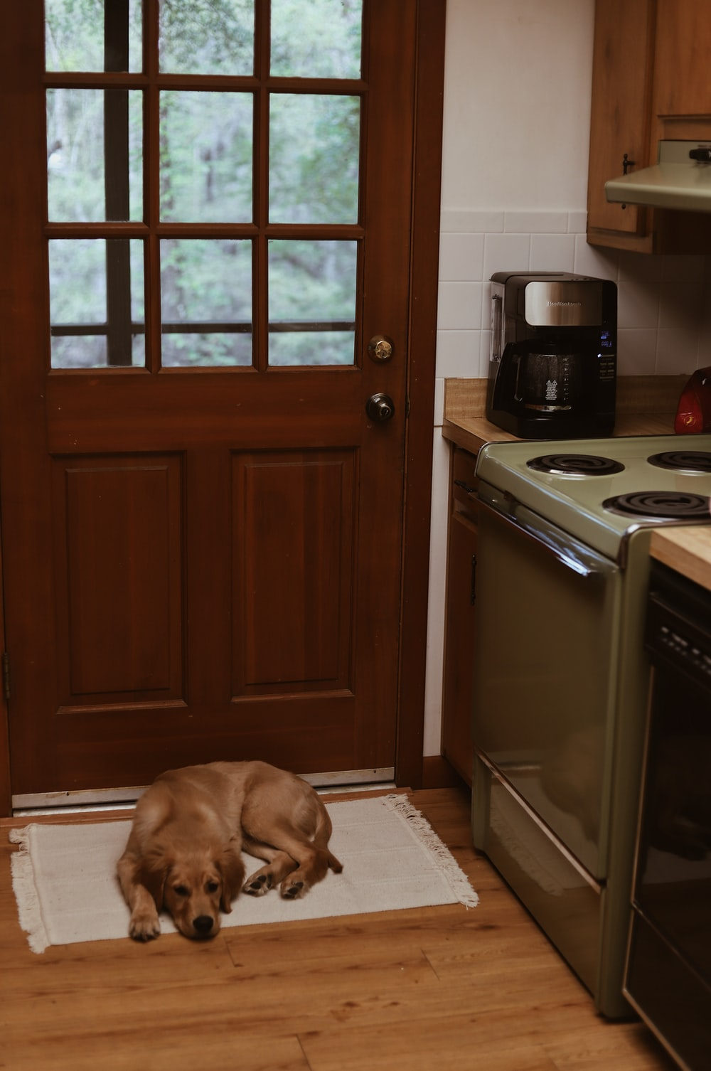 short-coated brown dog lying in front of closed brown wooden door