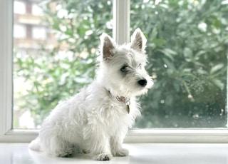 white long-coated dog sitting on floor