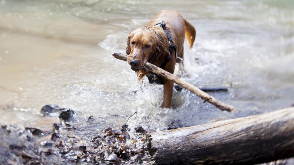short-coated tan dog biting wood on body of water
