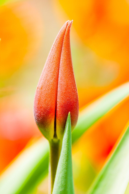 orange tulip bud