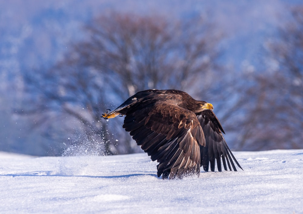 black eagle flying above snow field during daytime