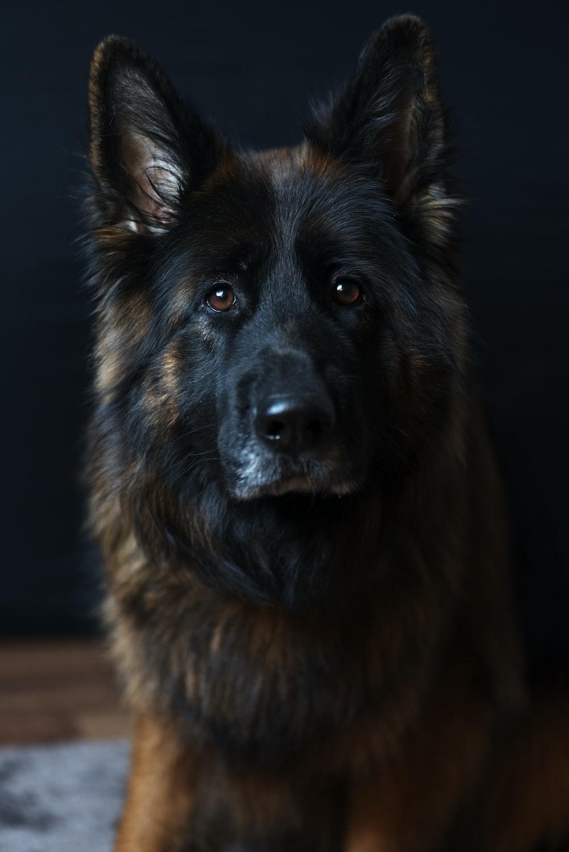 black and tan Belgian dog