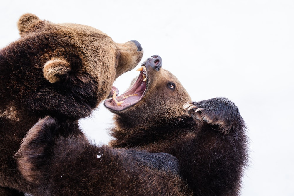 two brown grizzly bears