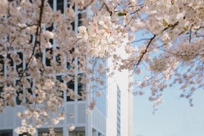 white cherry blossom tree close-up photography