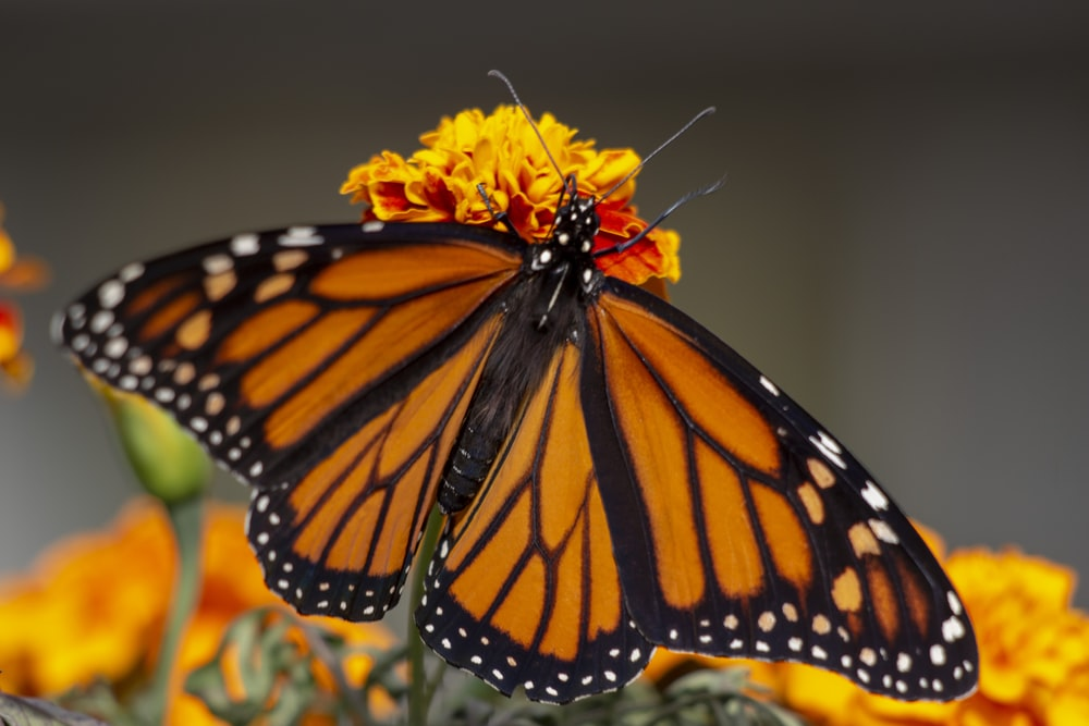 monarch butterfly perched on yellow flower