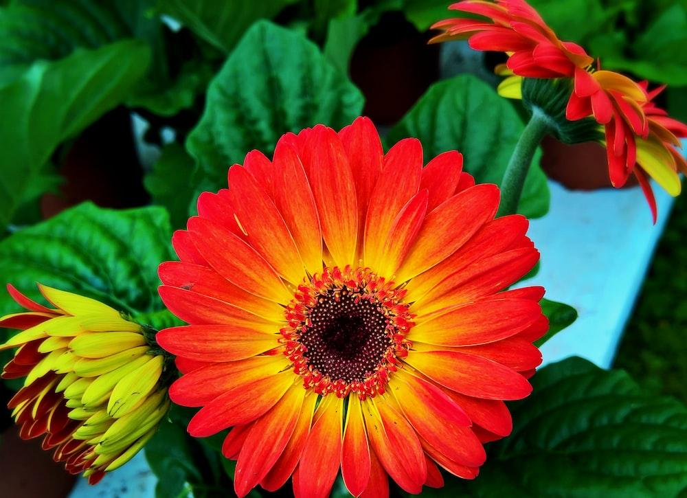 shallow focus photo of red Barberton daisy