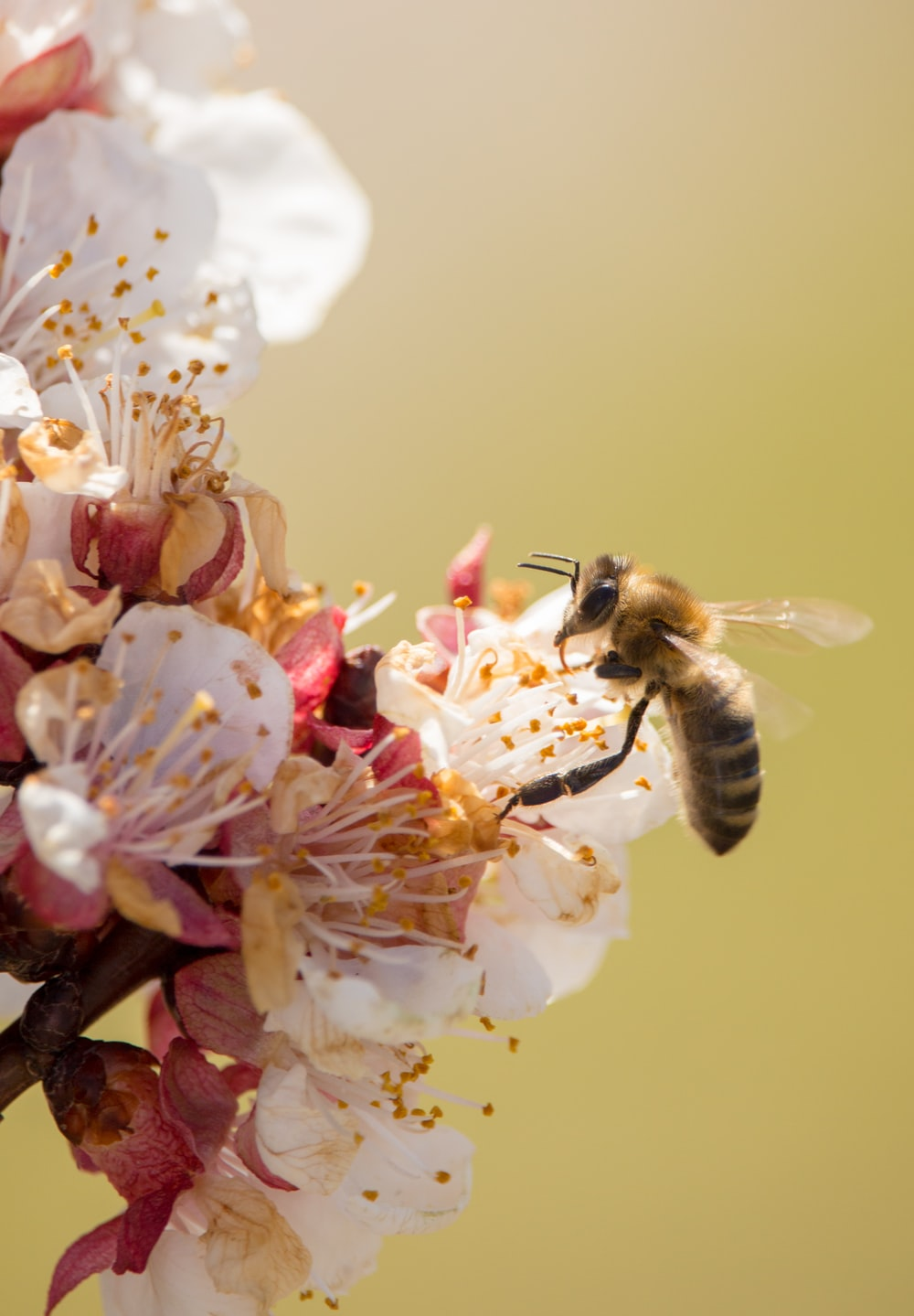 wasp on cherry blossom flowers