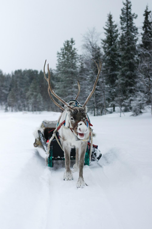 moose pulling snow sled