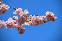 Welcome Spring in Hamburg, Sakura or Cherry Blossom