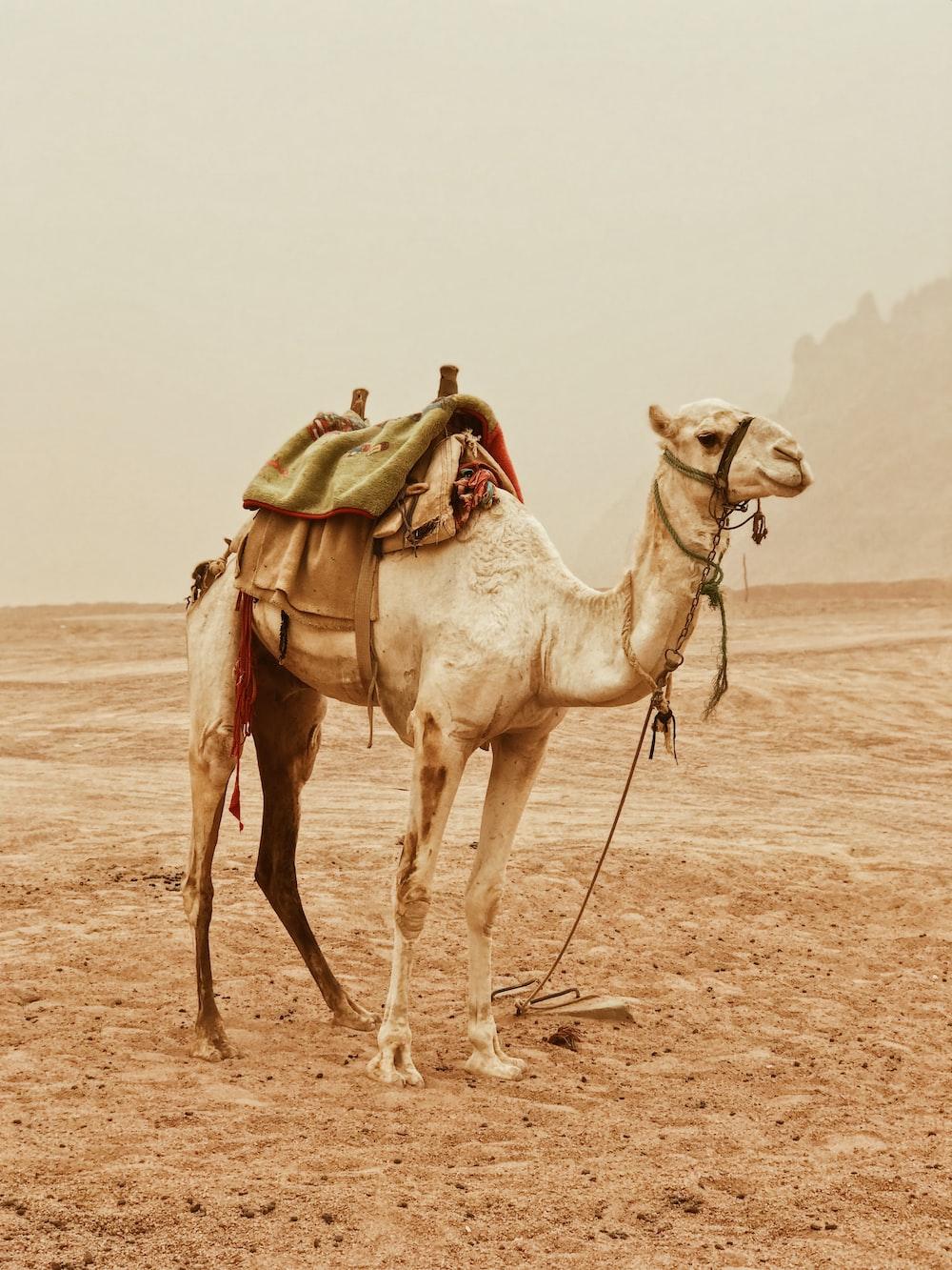 camel standing on desert