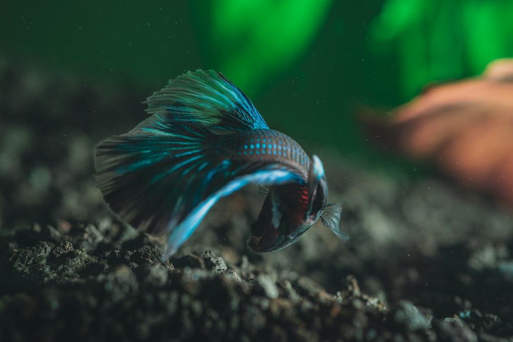 selective focus photography of betta fish
