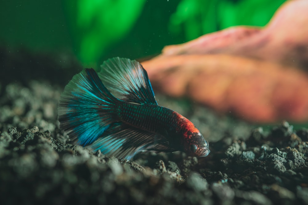 black and orange betta fish
