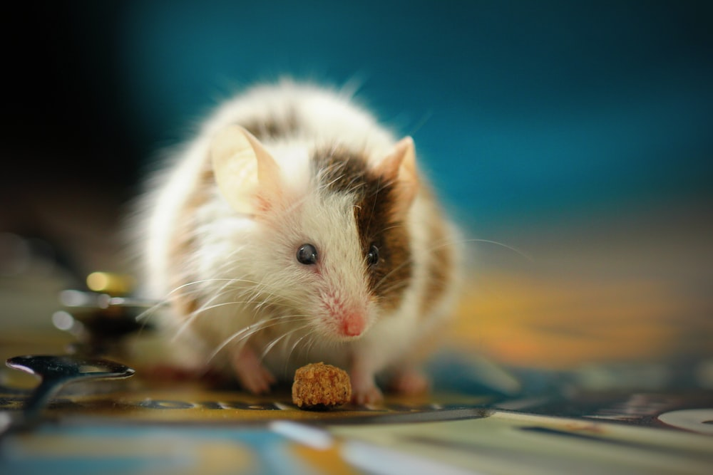 shallow focus photo of white hamster
