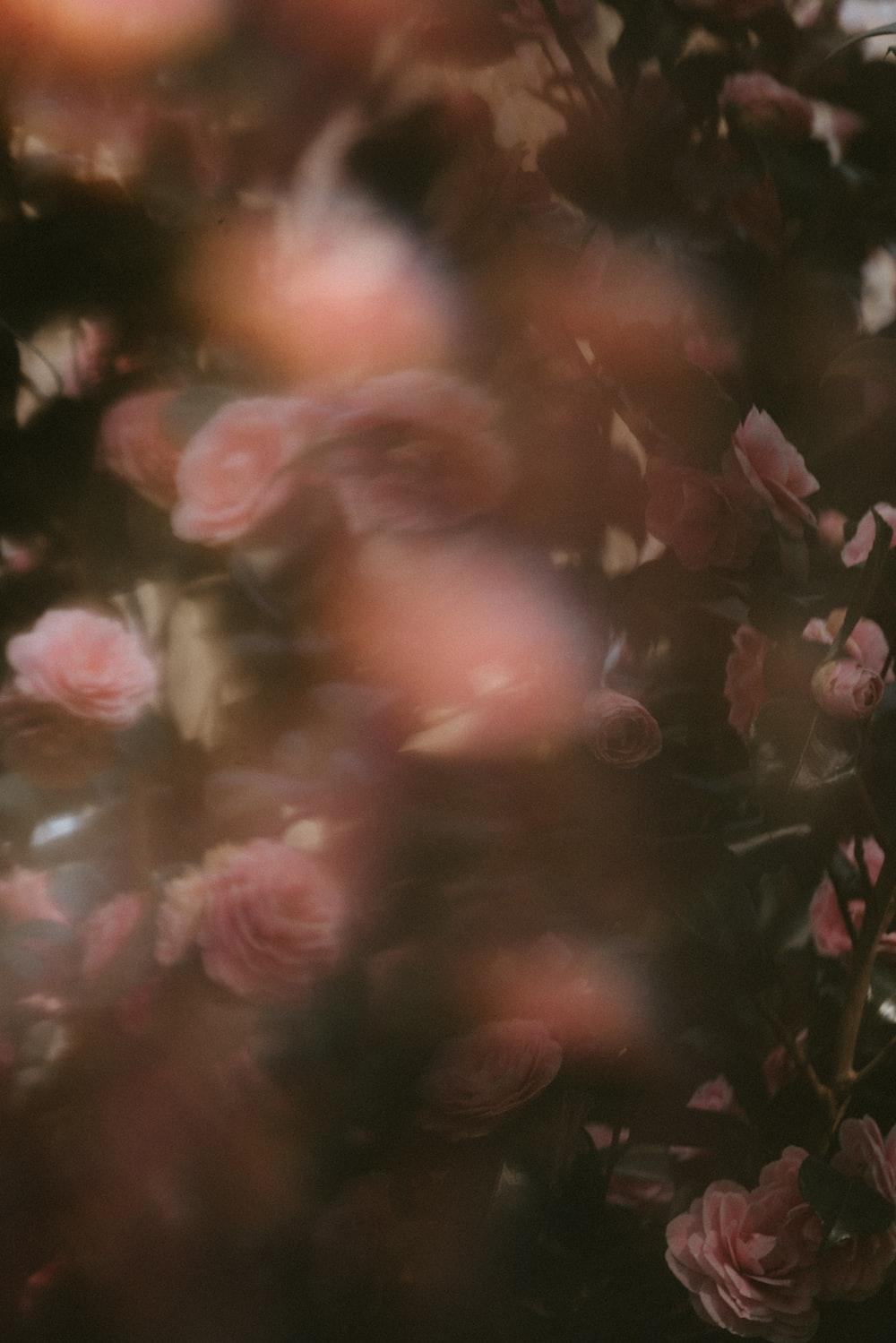 pink roses in closeup photo