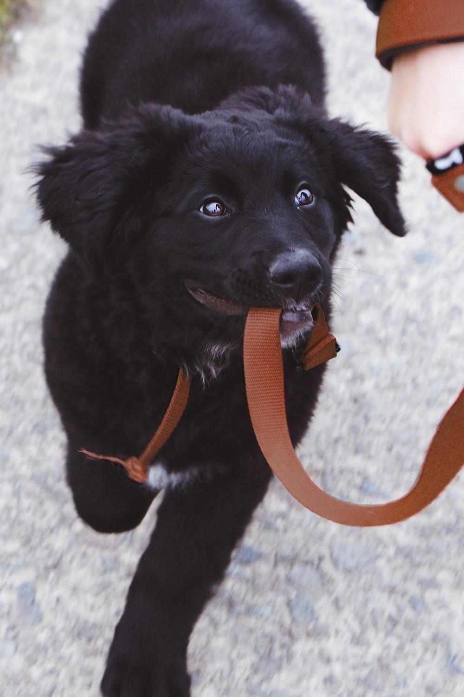 dog biting brown leash