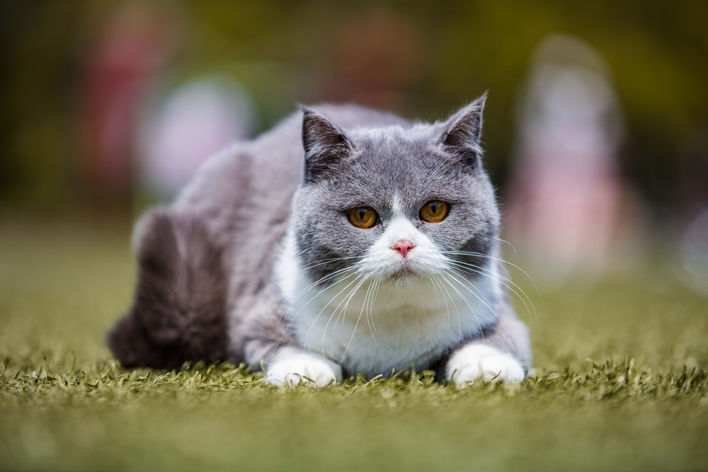 focus photography of gray cat