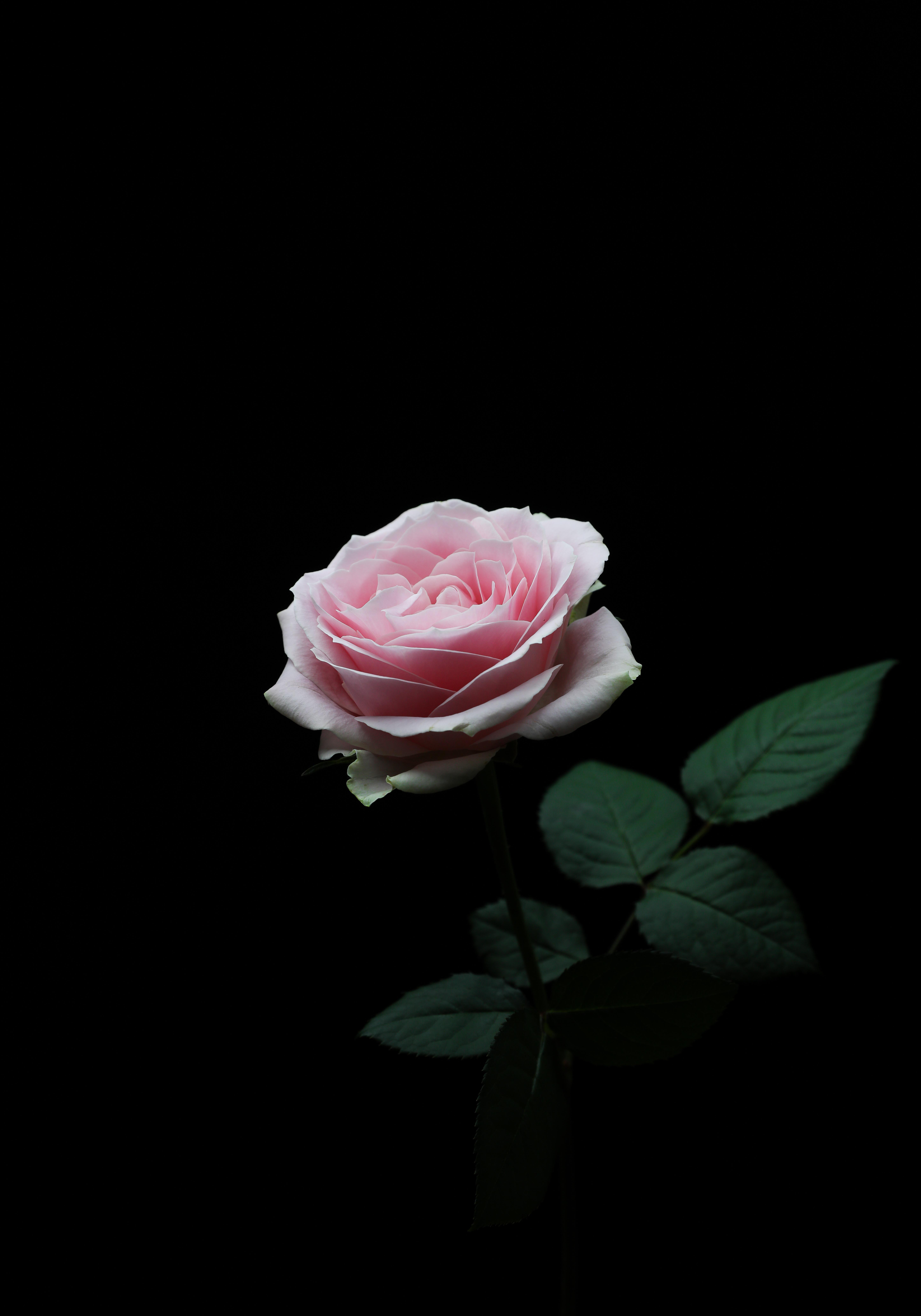 Iphone H King Background Dark Pink Rose Wallpaper