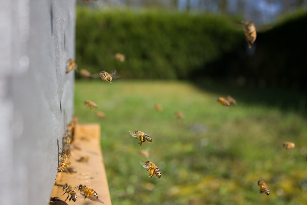 bees gathering near beehive