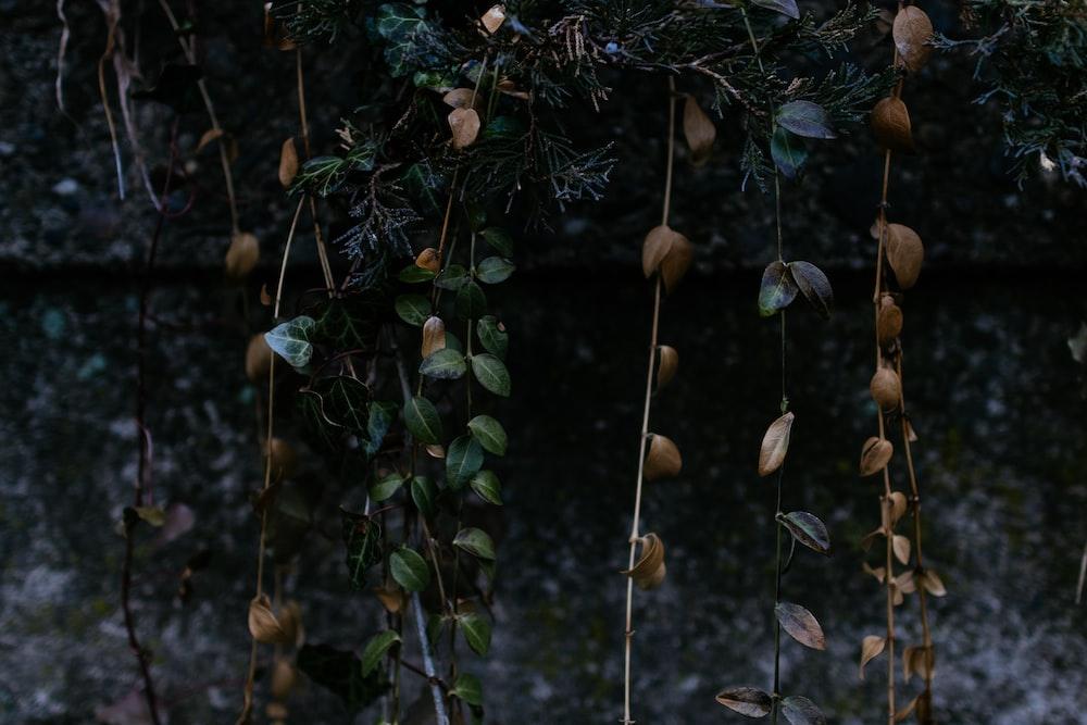 brown leaf vines