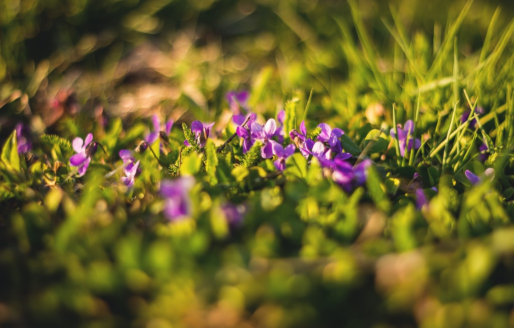 selective focus photography of purple flowers on green grass