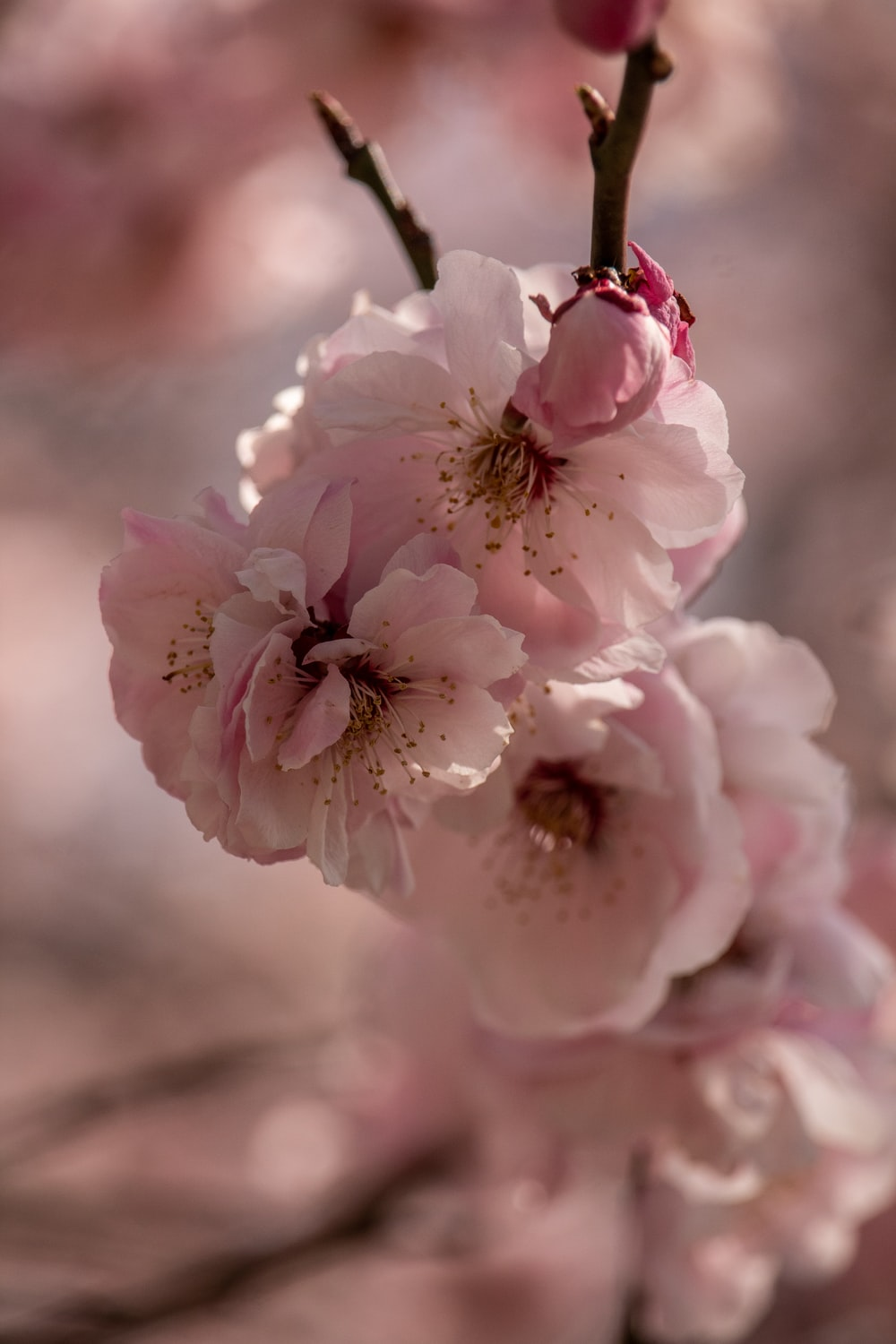 pink cherry blossoms in closeup photography