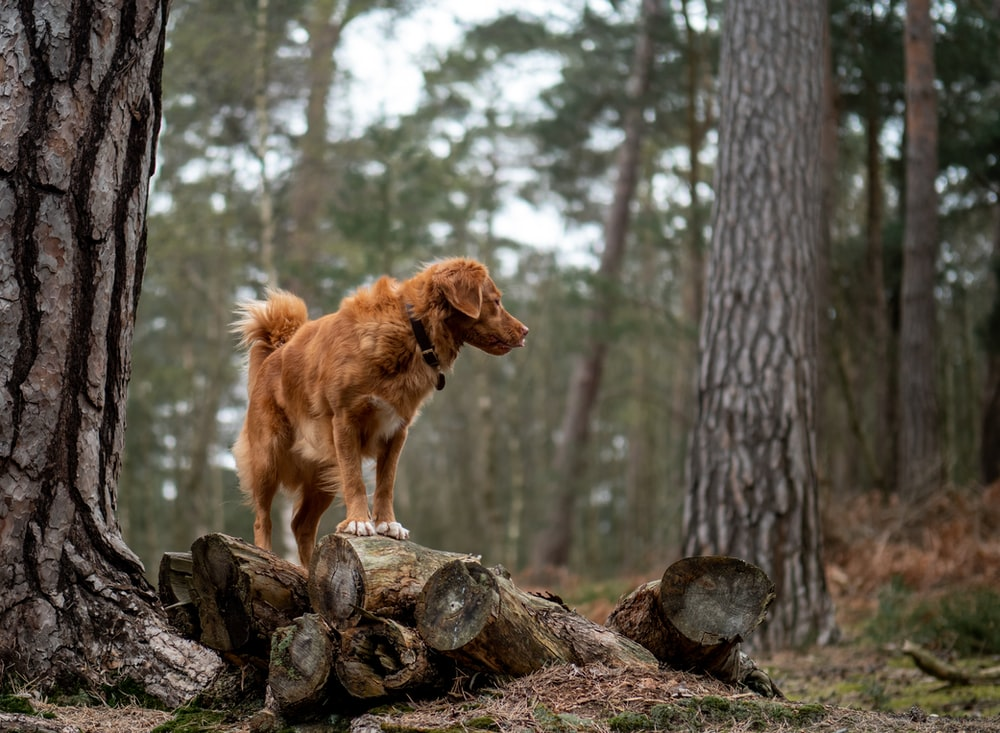 Golden retriever on top of pile of wood