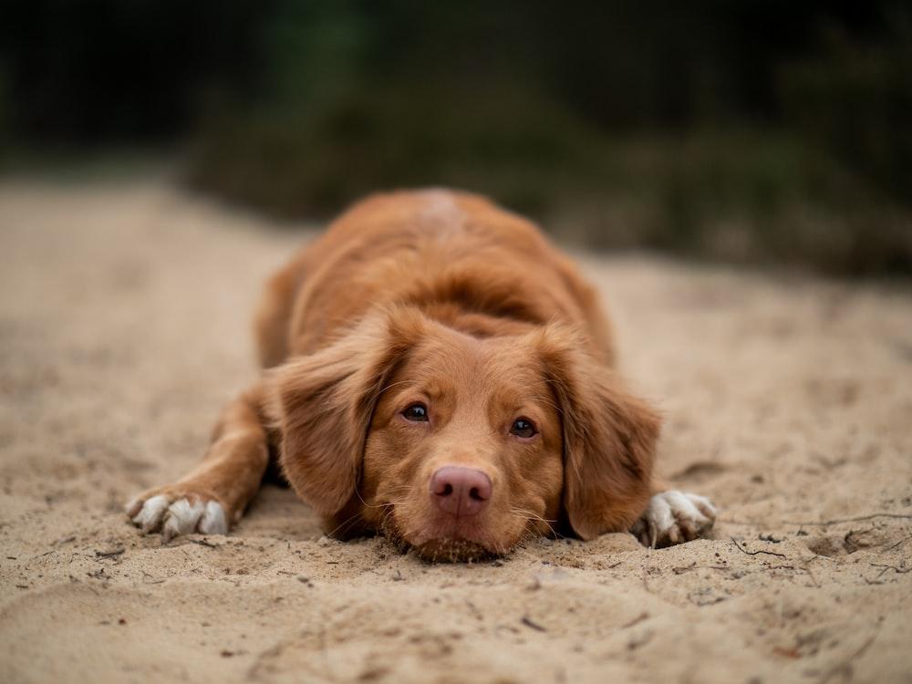 brown dog lying on ground